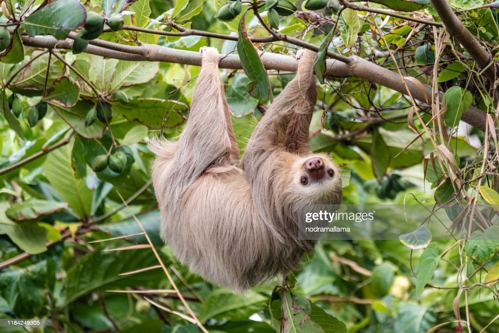 Brown-throated three-toed sloth (Bradypus variegatus) in the wild, forest of Costa Rica, Latin America : Stock Photo