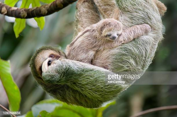 brown-throated three-toed sloth mother and baby hanging in a treetop, costa rica - animal family stock pictures, royalty-free photos & images
