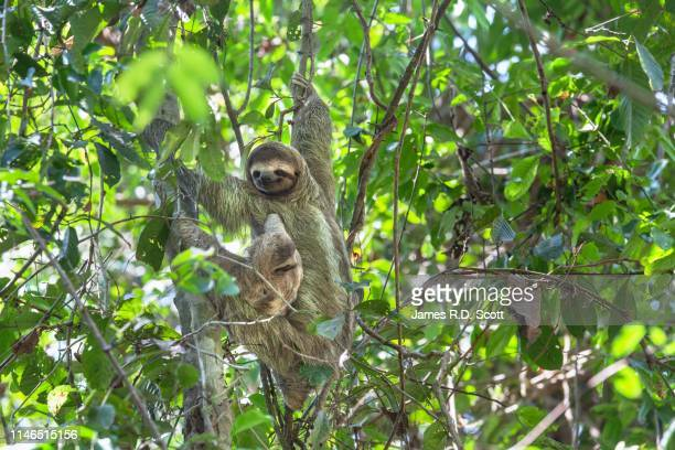 brown-throated three-toed sloth with baby - three toed sloth stock pictures, royalty-free photos & images
