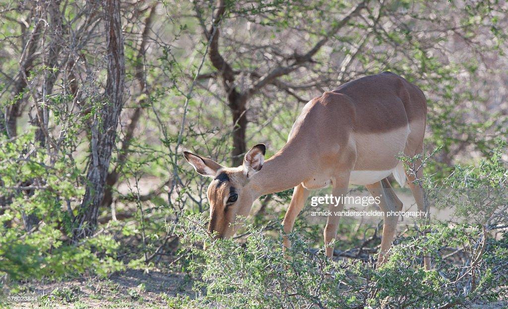 Browsing Impala. : Stock Photo