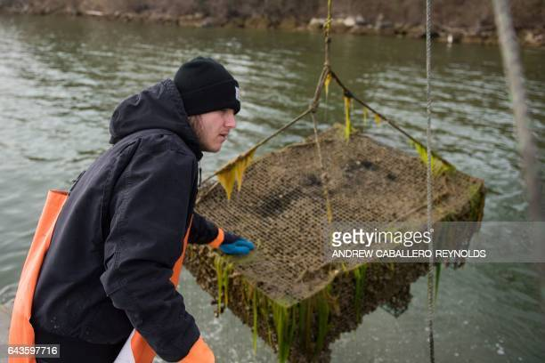Bruce Chainay helps guide a crate filled with oysters onto a pontoon boat at the Hollywood Oyster Company in Hollywood Maryland on February 21 2017...