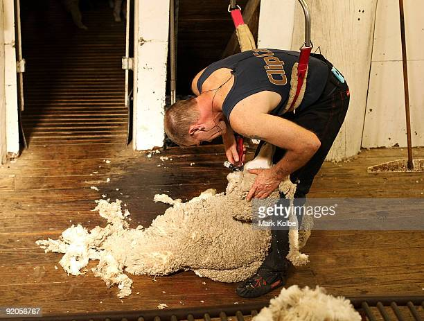 Bruce Hall shears a sheep during spring shearing at Cherry Hill Pastoral Company property on October 19 2009 in Uralla Australia Shearing in...