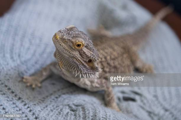 Bruce, Sen. Roy Blunts, R-Mo., bearded dragon, poses for a picture in Russell Building on Wednesday, September 4, 2019.