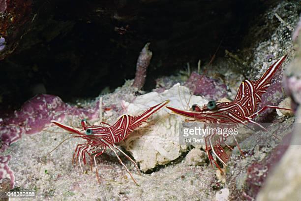 bruce's hingebeak shrimp - mabul island stock photos and pictures