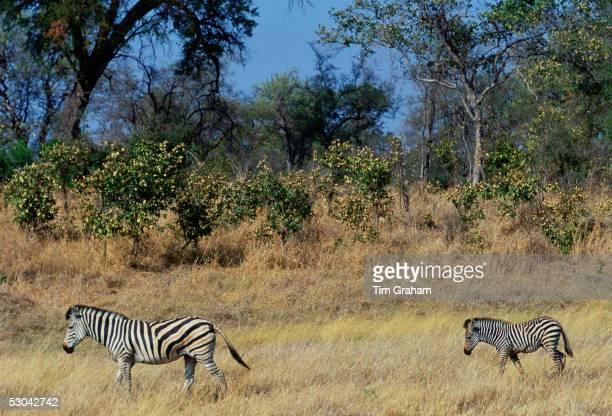 Bruchell's Zebra walking with her foal in Moremi Game Reserve Okavango Delta Africa