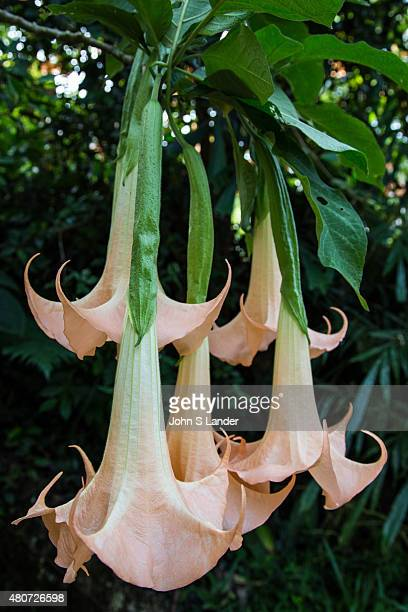 Brugmansia is a type of flowering plants of the Solanaceae family Fragrant and large hanging flowers give them their common name of angel's trumpets...