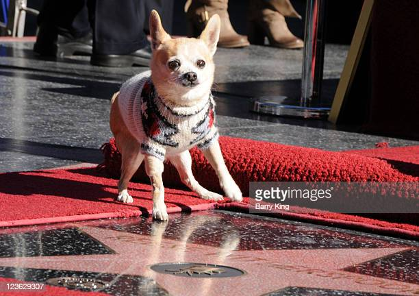 Bruiser the dog from Legally Blonde poses on Reese star at the Reese Witherspoon Hollywood Walk Of Fame Star Induction Ceremony on December 1 2010 in...
