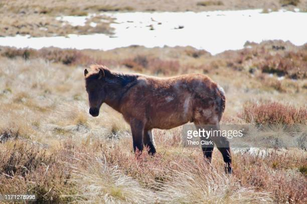 brumby foal - snowcapped mountain stock pictures, royalty-free photos & images