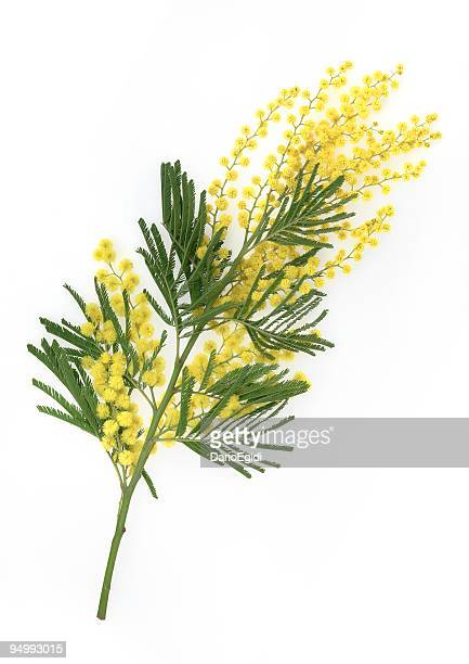 brunch of yellow mimosa flower on white background - mimosa stock pictures, royalty-free photos & images