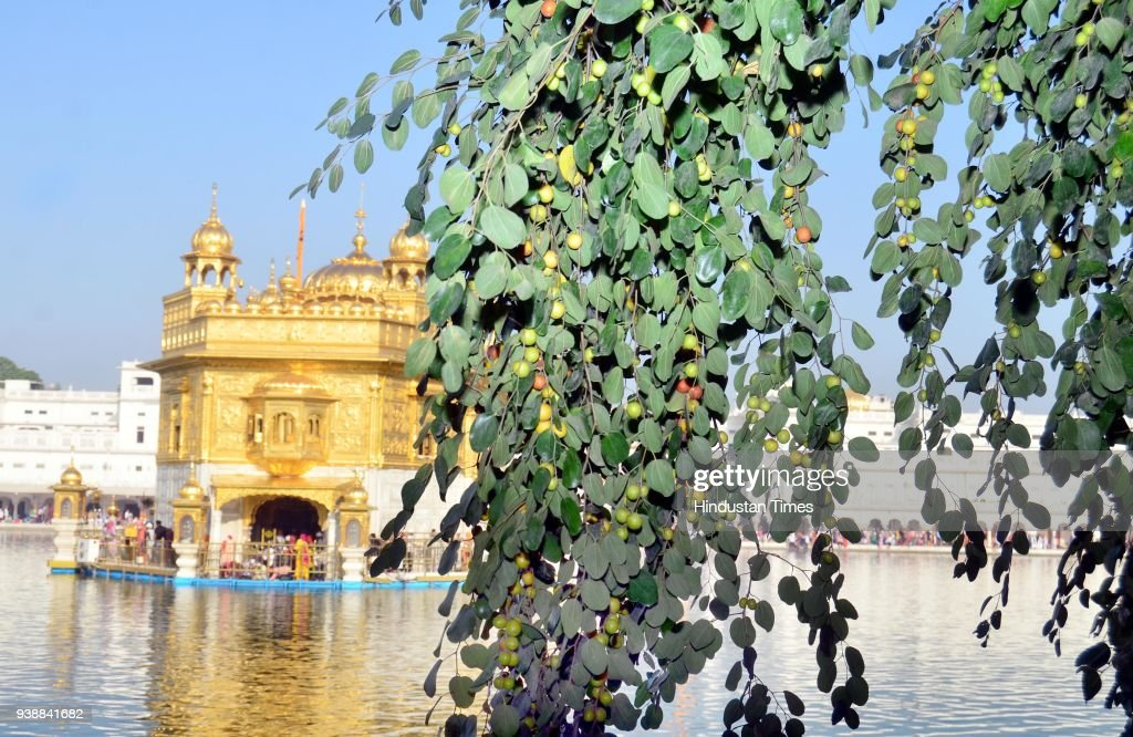 Brunches with abundant fruiting hanging of Dukh Bhanjani Beri at Golden Temple on March 27 2018 in Amritsar India Dukh Bhanjani Beri is a historic...