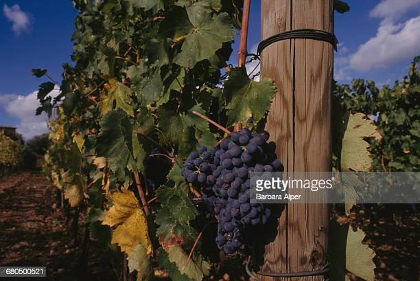 Brunello grapes at the vineyard of Italian winemaker Franco Biondi Santi in Montalcino Tuscany Italy October 1999