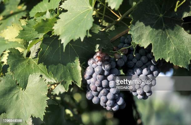 Brunello grapes. Montalcino. Tuscany. Italy.
