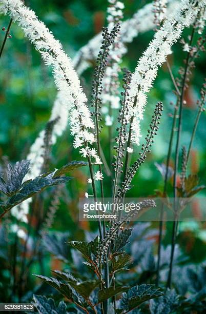 Brunette' Cohosh / Bugbane Cimicifuga simplex