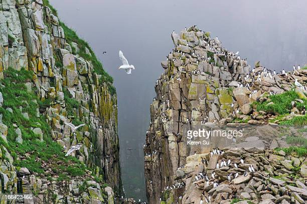 Brunnich's guillemots on rocky island