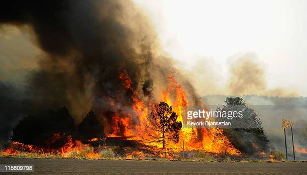 Brush and trees are engulfed in flames after firefighters set a backburn along Highway 191 in an attempt to control a raging wildfire on June 10 2011...