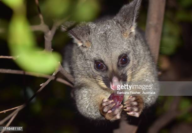 brush tail possum eating a plum - possum stock pictures, royalty-free photos & images