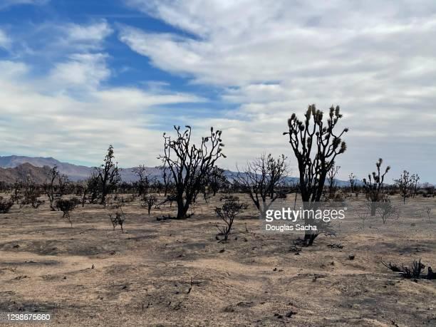 brushfire destroys desert landscape and joshua tree forest at mojave national preserve - サンバーナーディーノ市 ストックフォトと画像