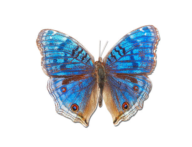 Brush-footed Butterfly of Madagascar