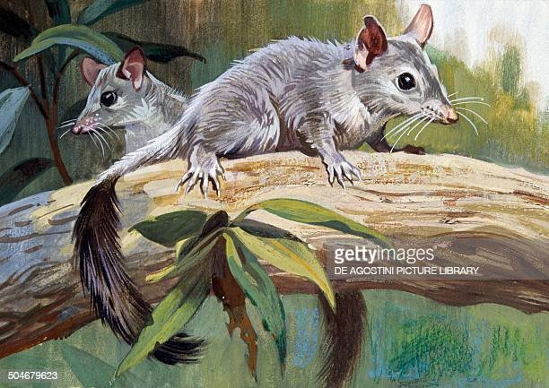 Brushtailed Phascogale Dasyuridae drawing