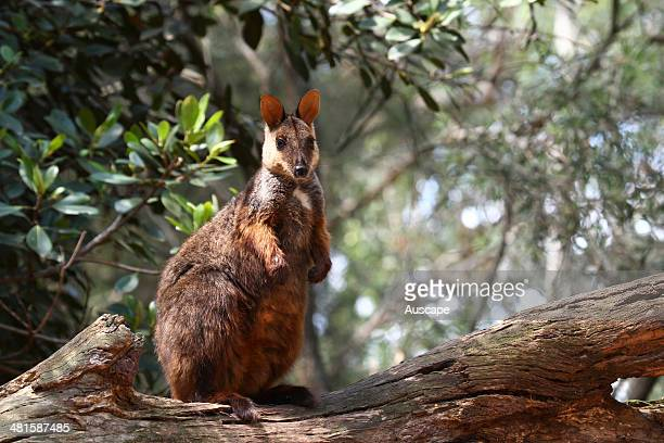 Brushtailed rockwallaby Petrogale penicillata on a log Northern New South Wales Australia