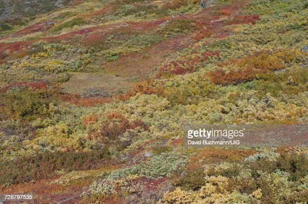Brushwood on Greenlandic mountainside