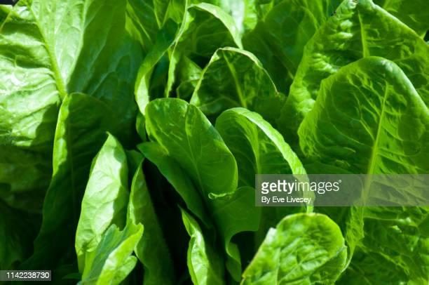 brussels endive plant leaves - lettuce imagens e fotografias de stock