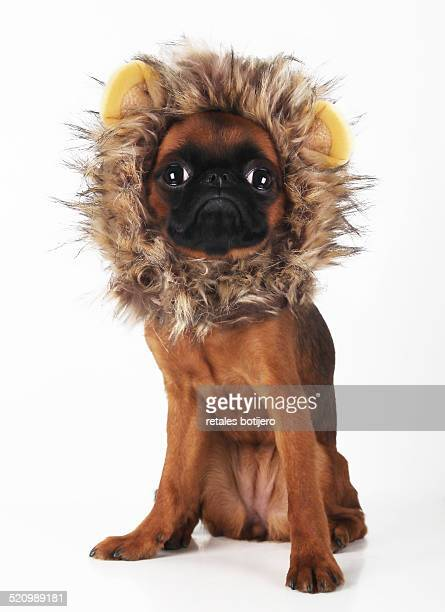 Brussels griffon puppy with lion costume