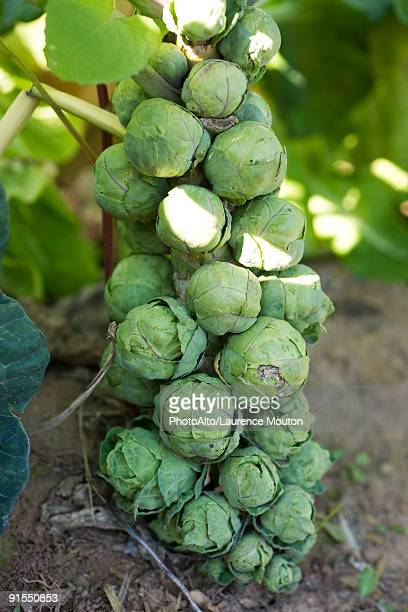 Brussels sprout growing on stalk