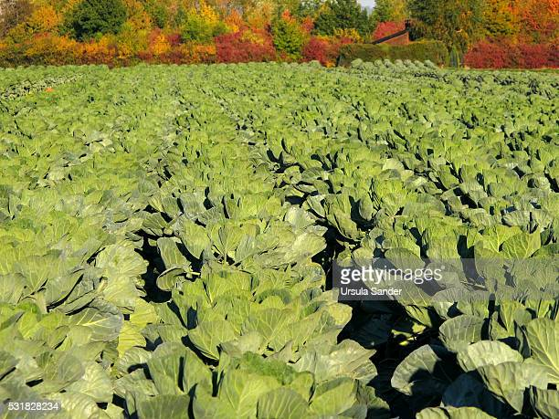 Brussels sprouts field in autumn, Baden-Wuerttemberg, Germany