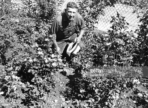Bryant Williamson In His Rose Garden He shows a 'singlepetal rose' of five to 12 petals Credit Denver Post