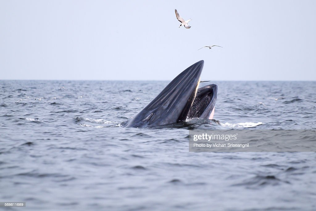 Bryde's whale in gulf of Thailand : Stock Photo
