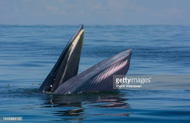 bryde's whale in the gulf of thailand - blue whale stock pictures, royalty-free photos & images