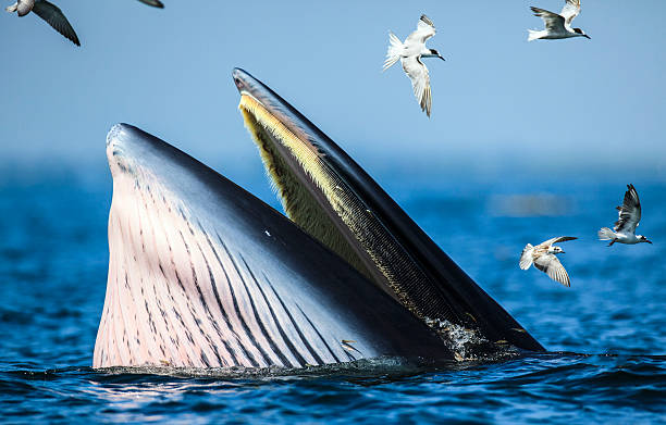 Bryde's whale is seen at Gulf of Thailand.