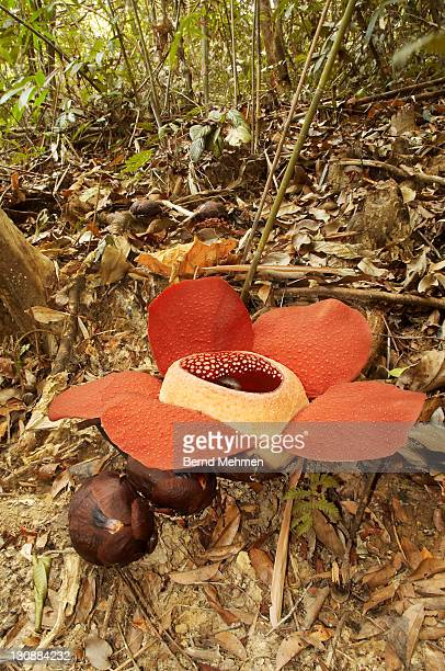 Bua Phut or Bua Tum (Rafflesia kerrii), flower and buds, Khao Sok National Park, Thailand
