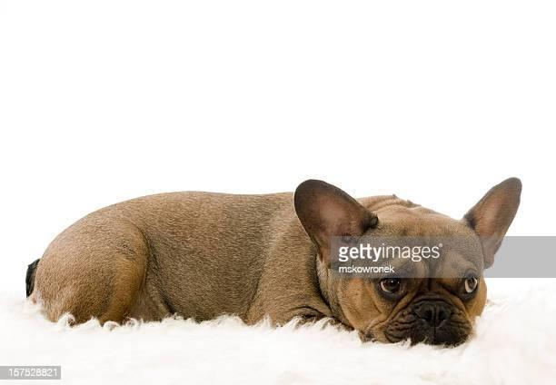 Buba-Bulldog francés