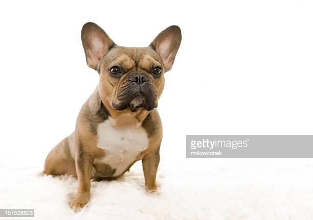 buba-buldogue francês - bulldog frances imagens e fotografias de stock