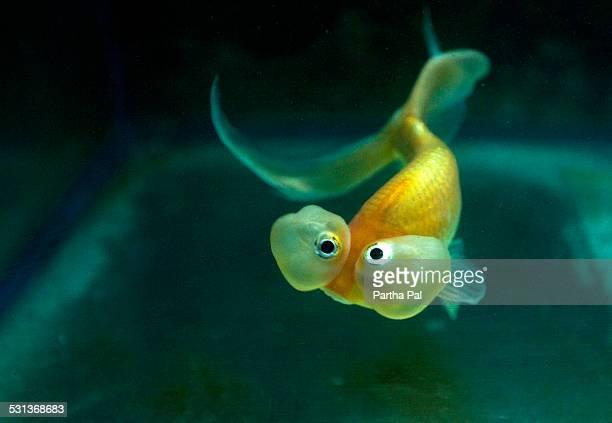 Bubble Eye Goldfish, Family: Carassius auratus