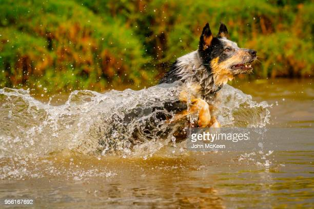 bubble wrapped - australian cattle dog stock pictures, royalty-free photos & images