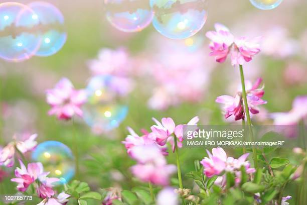 Bubbles floating over Chinese milk vetch