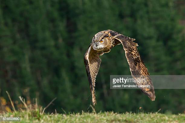 Bubo bubo. An eurasian eagle owl flying over the forest background.