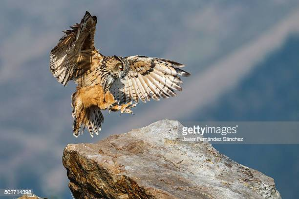 Bubo bubo. An eurasian eagle owl flying sits on a large rock.