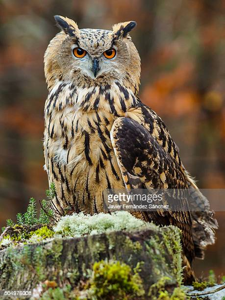 Bubo bubo. An eurasian eagle owl in the forest.