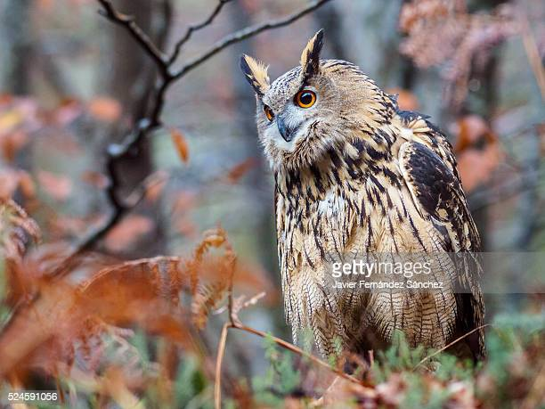 Bubo bubo. An eurasian eagle owl perched on the forest floor. Bubo bubo.