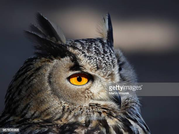 bubo bubo omissus - czech hunters stock pictures, royalty-free photos & images