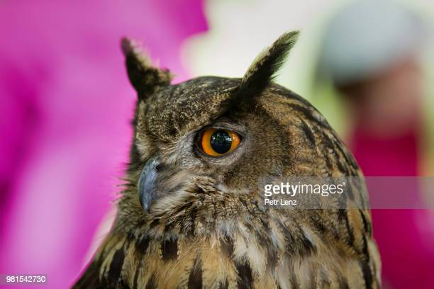 bubo bubo - czech hunters stock photos and pictures