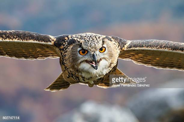 Bubo bubo. Portrait of an eurasian eagle owl flying in the mountains.