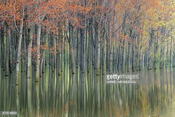 A flooded forest is seen along the Danube river near Bechet border crossing point with Bulgaria some 280km southwest from Bucharest 11 April 2006 Two...