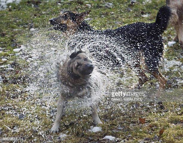 A stray dog shakes his wet fur after jumping in the icy water trying to catch wild ducks on a lake in Bucharest 19 January 2006 AFP PHOTO DANIEL...
