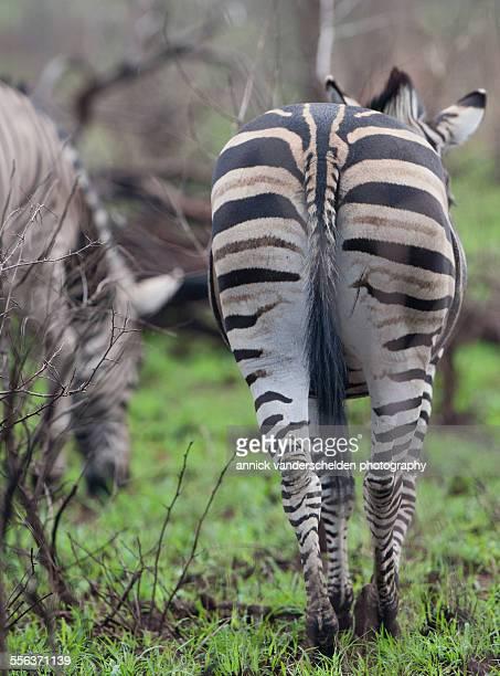 Buchell's zebra
