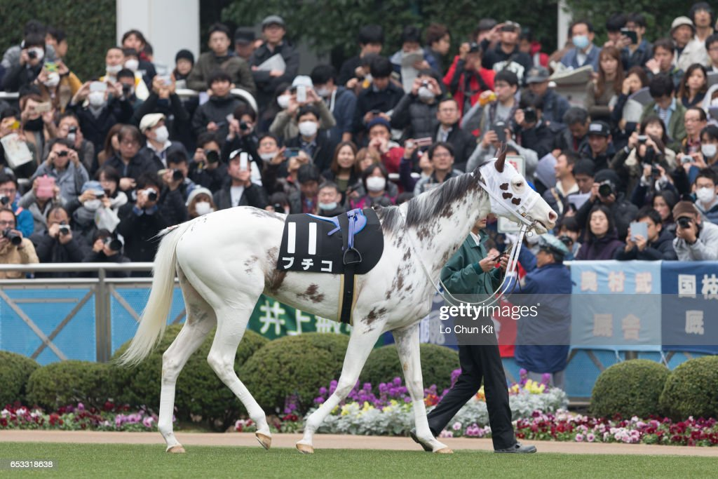 Buchiko being led around the paddock during the Race 10 Kazusa Stakes at Nakayama Racecourse on March 6, 2016 in Funabashi, Chiba, Japan. Buchiko is a striking-white filly with dark spots throughout her coat.